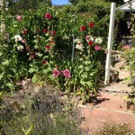 hollyhocks-in-full-bloom.jpg